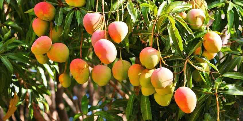 Drewno mango